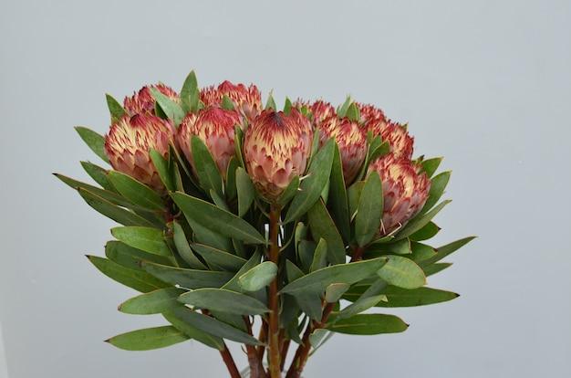 Mazzo del fiore del protea di brown isolato su un fondo bianco