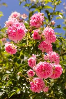 Mazzo del primo piano di rose rosa all'aperto