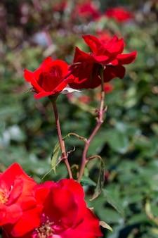 Mazzo del primo piano di rose rosse graziose all'aperto