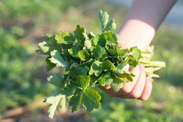 Mazzo delle foglie verdi fresche chelidonium majus, celidonia, nipplewort, swallowwort o primo piano di tetterwort. raccogli erbe medicinali nell'area forestale rispettosa dell'ambiente.
