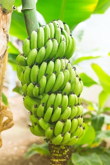 Mazzo di banane non mature verdi nella fine della giungla su