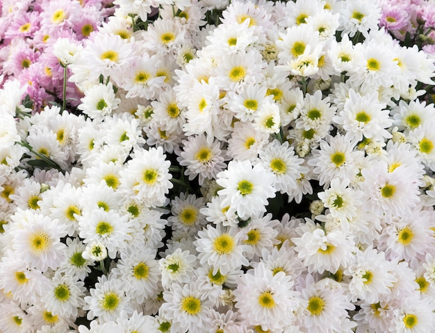 Mazzo di crisantemi bianchi.