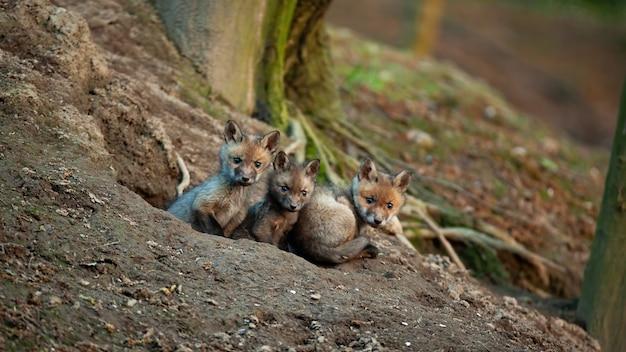 Mazzo di cuccioli di volpe rossa che guardano intorno dalla tana sotto l'albero in terreno boscoso