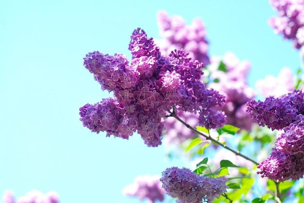 Mazzo di fioritura lilla del fiore della molla sopra cielo blu. fiori di primavera.