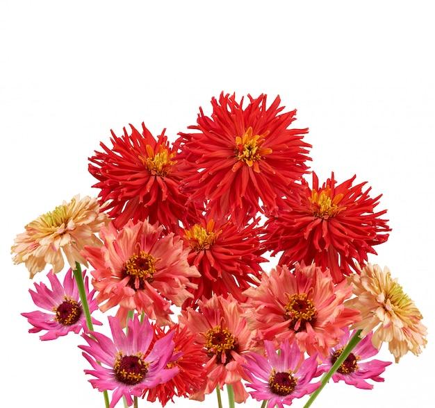 Mazzo di germogli gialli, rosa e rossi di zinnia fiorita