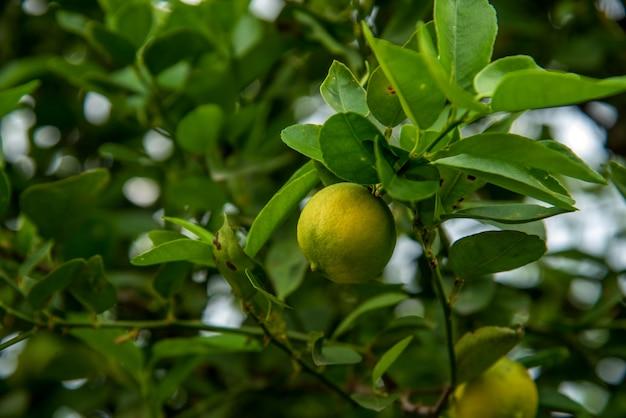 Mazzo di limoni freschi su un ramo di limone nel campo dell'azienda agricola