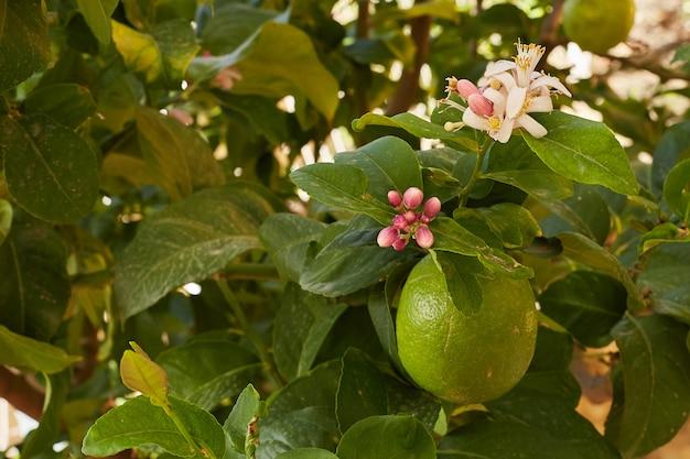 Mazzo di limoni verdi freschi su un ramo di limone in giardino soleggiato