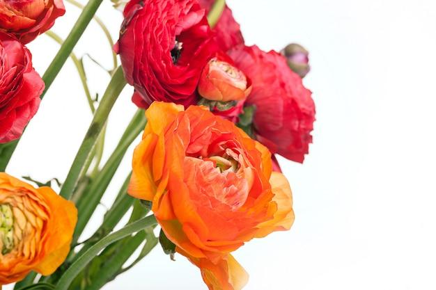 Mazzo di ranunkulyus di fiori rossi su uno spazio bianco. biglietto d'auguri