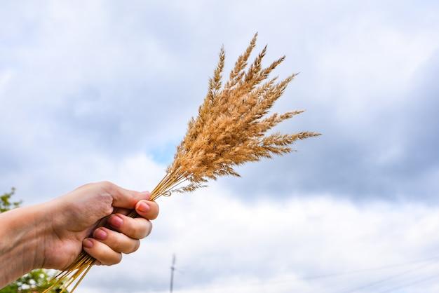 Mazzo di spighe di grano in mano.