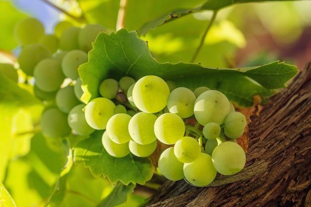 Mazzo di uva bianca con le foglie su fondo