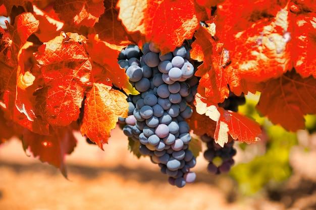 Mazzo di uva con le foglie rosse in autunno. vigneto d'autunno