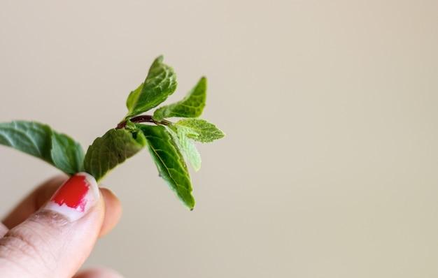Mazzo fresco di foglie di menta
