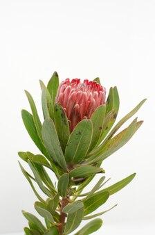 Mazzo rosso del fiore del protea su un fondo isolato bianco