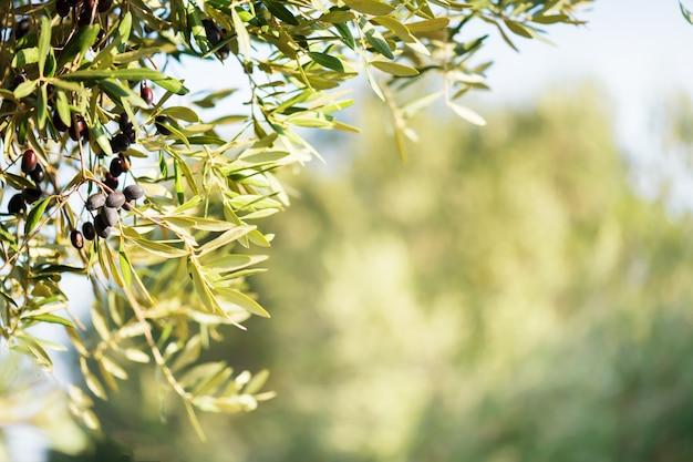 Mazzo verde oliva con olive nere mature su un oliveto su uno sfocato. copia spazio