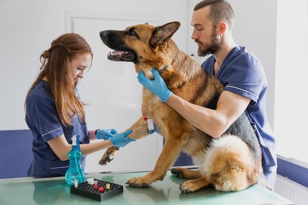 Medici attenti del colpo medio che aiutano il grande cane a stare bene