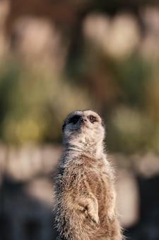 Meerkat carino con parete sfocata