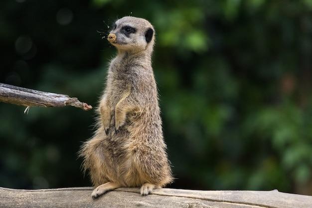 Meerkat divertente che si siede su un ceppo di albero
