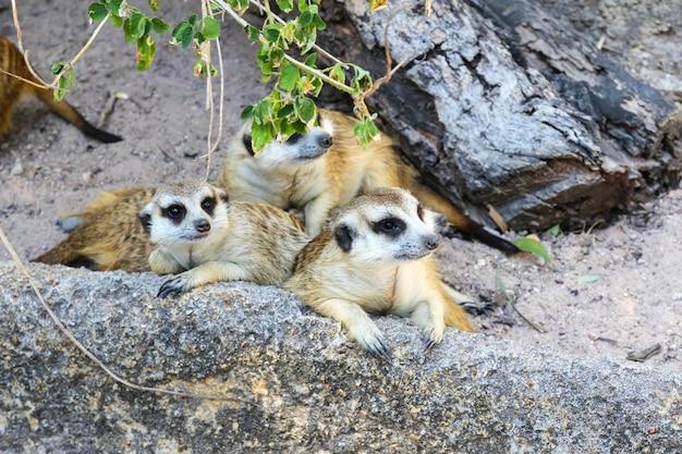 Meerkats in uno zoo.
