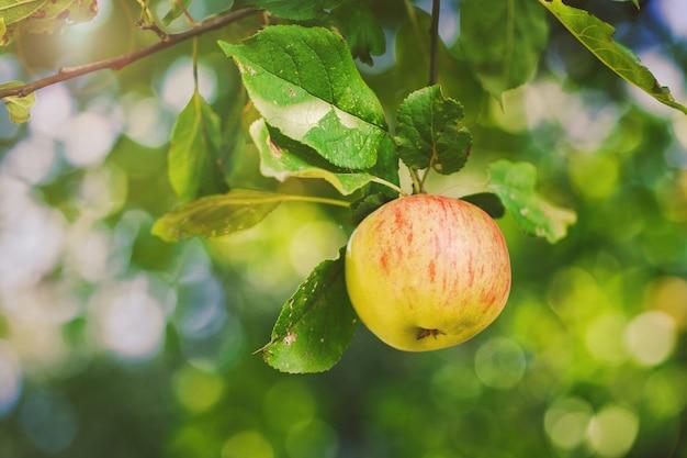 Mela fresca naturale che pesa su un ramo