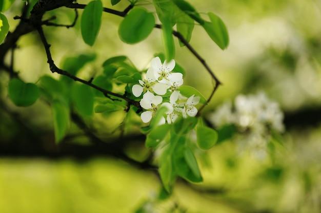 Mela in fiore sulla natura, fiori di primavera.