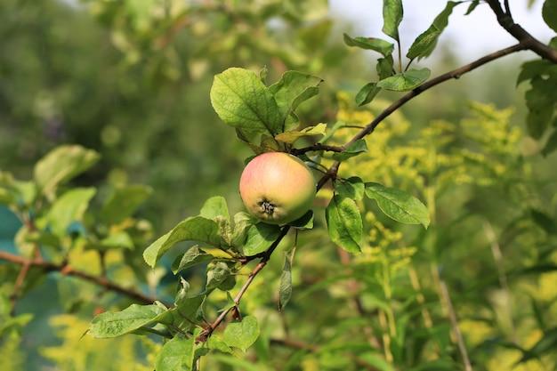 Mela su un albero nei prodotti agricoli biologici del giardino