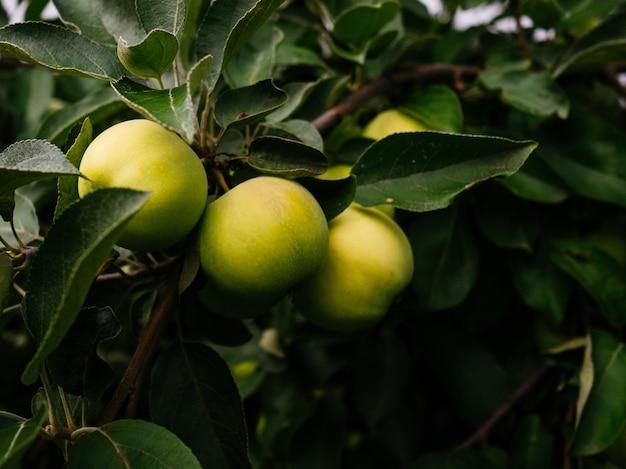 Mele mature e verdi su un ramo nel giardino. mele succose coltivate a casa.