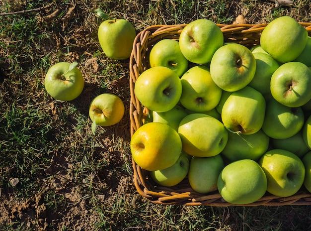 Mele verdi nel pieno raccolto in un cestino