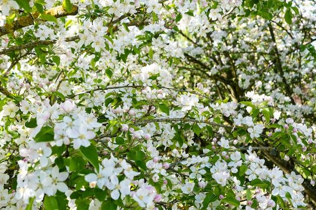 Meleto in fiore in primavera sotto il sole e il cielo blu