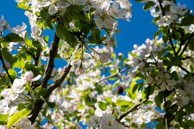 Meleto in fioritura in primavera sotto il sole e il cielo blu