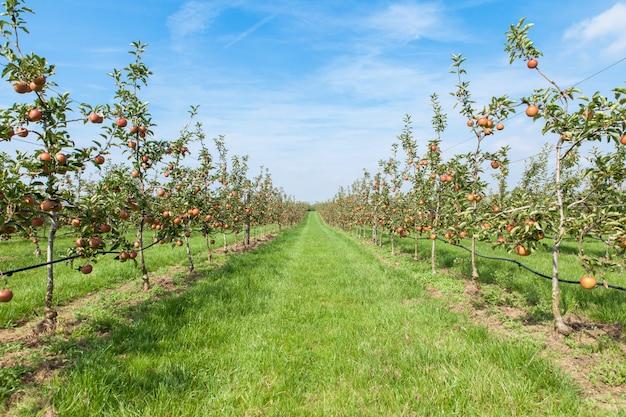 Meli carichi di mele in un frutteto in estate