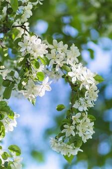 Meli in fiore