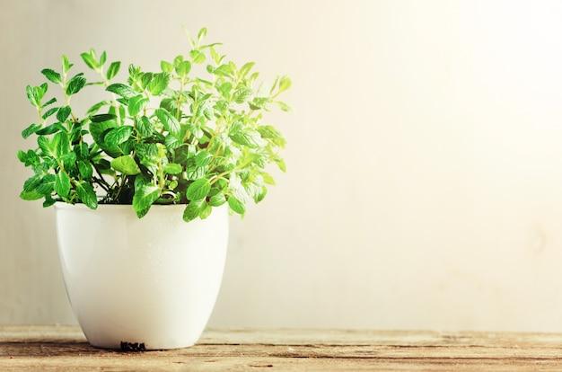 Melissa aromatica fresca verde dell'erba, menta in vaso bianco su fondo di legno. b