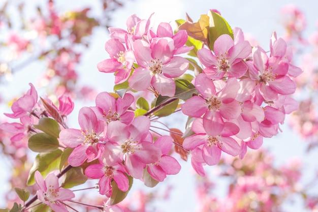 Melo di fioritura rosa