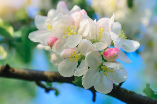 Melo in fiore in un giardino di primavera