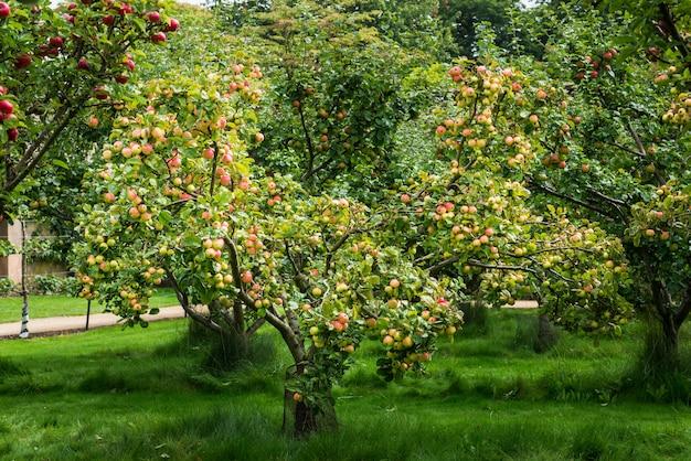 Melo in giardino durante l'autunno, regno unito