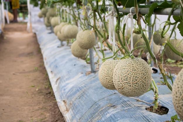 Melone in giardino pronto per la raccolta con lo spazio della copia