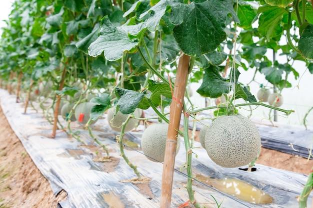 Meloni cantalupo che crescono in una casa pulita sostenuta da reti di melone a corde. messa a fuoco selettiva
