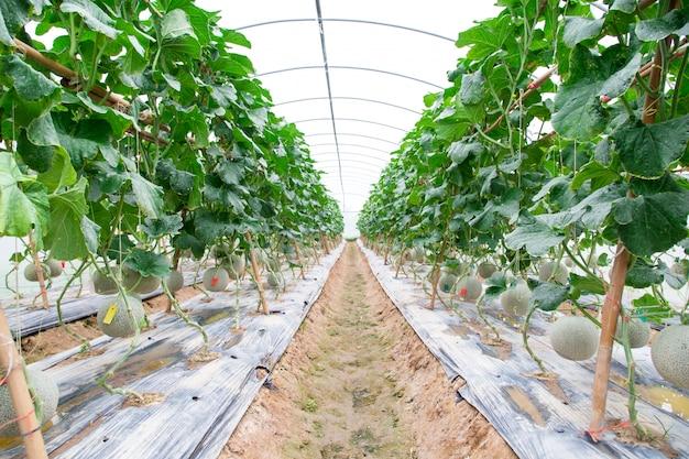 Meloni cantalupo che crescono in una serra sostenuta da reti di melone a corde. messa a fuoco selettiva