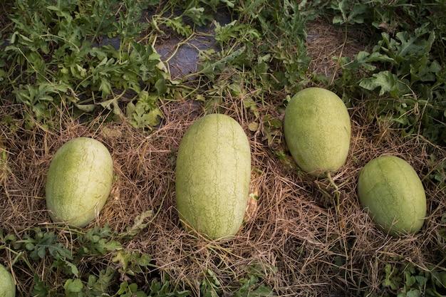 Meloni del cantalupo del primo piano che crescono in un'azienda agricola del paese della serra, cucumis melo