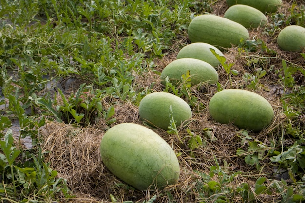 Meloni del cantalupo del primo piano che crescono in un'azienda agricola del paese della serra