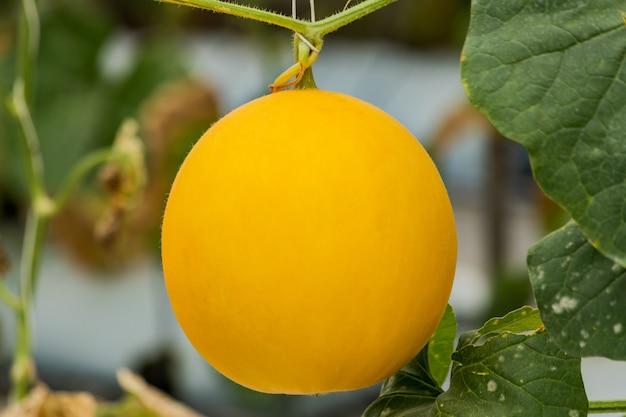 Meloni gialli del cantalupo piante che crescono nel giardino