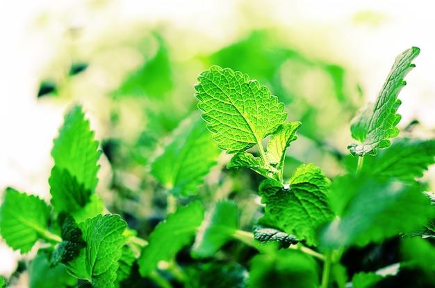 Menta organica verde su priorità bassa chiara, fuoco selettivo. foglie di menta con perdite di sole, bokeh.