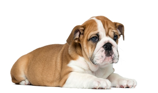 Menzogne inglese del cucciolo del bulldog isolata su bianco