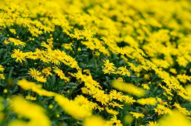 Messa a fuoco e sfocato di golden daisy bush.