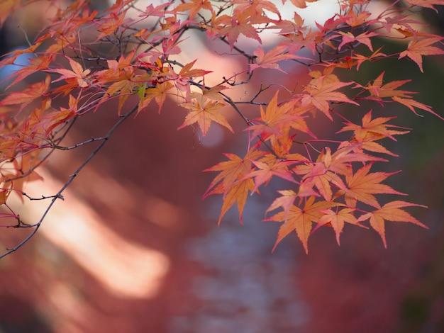 Messa a fuoco morbida di foglie d'acero rosso