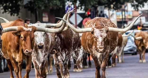 Messa a fuoco selettiva colpo di longhorns camminando per la strada