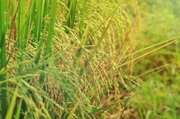 Messa a fuoco selettiva di riso giallo, risone pronto per essere raccolto, in campo di riso.