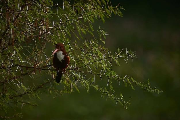 Messa a fuoco selettiva di un bellissimo uccello coraciiformes seduto sui rami di un abete