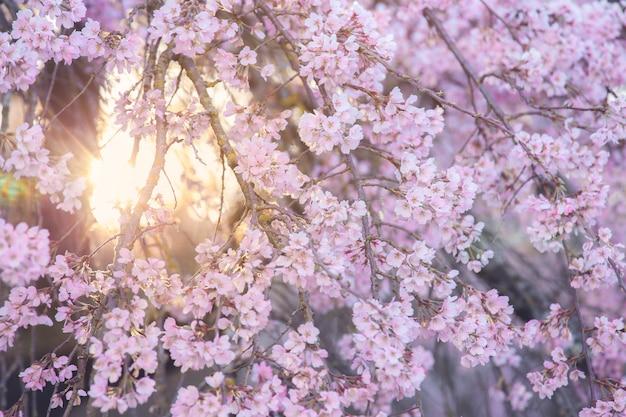 Messa a fuoco selettiva su fiori, sfondo naturale di fiori di ciliegio o fiori di sakura in stile vintage