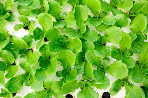 Metodo di coltura idroponica per la coltivazione di piante utilizzando soluzioni nutritive minerali, in acqua, senza suolo. piantare la mano hydroponics plant farm